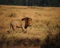 Savannah King Stock Photos