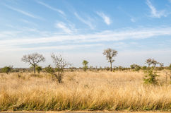 Savannah, Kruger National Park. South Africa. Kruger National Park, savannah vegetation, yellow grass. South Africa stock photo