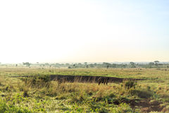 Savannah landscape with a few grazing buffaloes Stock Image