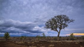 Savannah landscape in Kruger National park, South Africa. Morning wild savannah scenic in Satara , Kruger national park, South Africa royalty free stock image