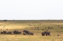 Savannah med stora och små herbivor Elefantfamilj i savannahen kenya mara masai royaltyfri bild