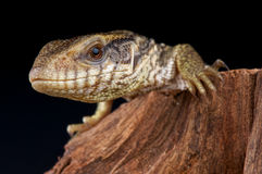 Savannah monitor Royalty Free Stock Photos