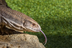 Savannah Monitor Lizenzfreie Stockbilder