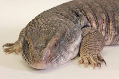 Savannah Monitor (exanthematicus de Varanus) Photographie stock