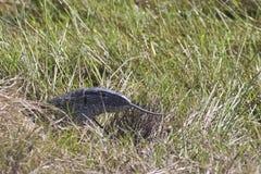 Savannah Monitor Head med den fördjupade tungan Royaltyfri Fotografi