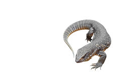 Savannah Monitor Isolated on White Background, Clipping Path Royalty Free Stock Image
