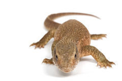 Savannah Monitor Lizard Royalty Free Stock Photo