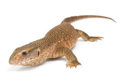 Savannah Monitor Lizard Royalty Free Stock Images