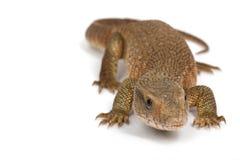 Savannah Monitor Lizard. (Varanus exanthematicus) on white background royalty free stock photography