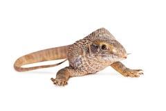 Savannah Monitor Lizard Over White Royaltyfria Bilder