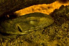 Savannah monitor sleeping on the sand stock image
