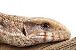 Savannah Monitor portrait Royalty Free Stock Photos