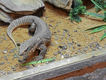 Savannah Monitor on Stone with Sand Royalty Free Stock Images