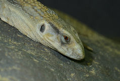 Savannah Monitor (Varanus exanthematicus) Stock Images
