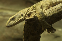 Savannah Monitor (Varanus exanthematicus). Diurnal, shelters in tree holes and burrows. Uses its tongue to help smell and find prey Stock Image