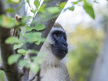 Savannah Monkey Royalty-vrije Stock Foto's