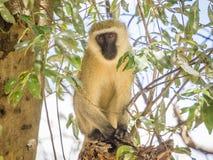 Savannah Monkey Stock Foto's