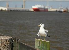 The Savannah Seagull Stock Image