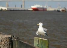 The Savannah Seagull Stock Image