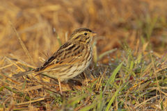 Savannah Sparrow. Searching for food in the morning light Stock Photography