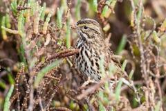 Savannah Sparrow Stock Photos
