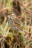 Savannah Sparrow. Vertical Composition of Savannah Sparrow Foraging Among Salt Marsh Pickleweed Royalty Free Stock Photography