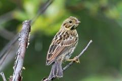 Savannah Sparrow Stock Photography