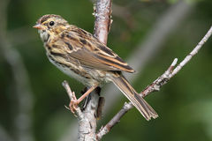 Savannah Sparrow Royalty Free Stock Photo