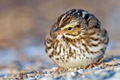 Savannah Sparrow Royalty Free Stock Image