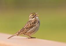 Savannah Sparrow Imágenes de archivo libres de regalías