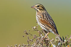 Savannah Sparrow Foto de Stock