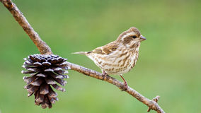 Savannah Sparrow Royalty-vrije Stock Afbeelding