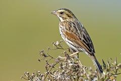Savannah Sparrow Stock Afbeeldingen
