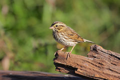 Savannah Sparrow. (Passerculus sandwichensis) on a log stock image