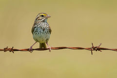 Savannah Sparrow Royaltyfri Bild