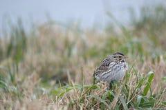 Savannah Sparrow Royaltyfri Bild