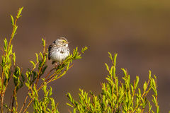 Savannah Sparrow. Adult Savannah Sparrow Perched on Leafy Willow Branch Royalty Free Stock Photos