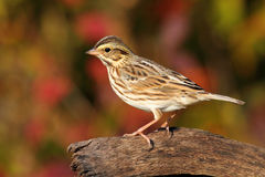 Savannah Sparrow in Autumn. Savannah Sparrow (Passerculus sandwichensis) on a log with fall colors Stock Image