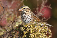Savannah Sparrow in Autumn Stock Photo