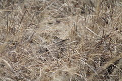 Savannah Sparrow cammuffata fotografie stock libere da diritti