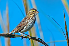 Savannah Sparrow. Clinging to a branch Royalty Free Stock Photo