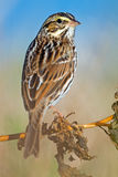 Savannah Sparrow. Clinging to a branch Stock Photography
