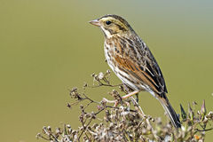 Savannah Sparrow. Clinging to a branch Stock Images