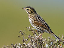 Savannah Sparrow Stock Photos