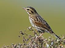 Savannah Sparrow. Clinging to a branch stock photos