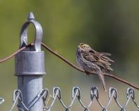 Savannah Sparrow en Alaska Imagenes de archivo