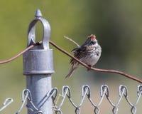 Savannah Sparrow en Alaska Imágenes de archivo libres de regalías
