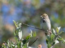 Savannah Sparrow en Alaska Foto de archivo libre de regalías