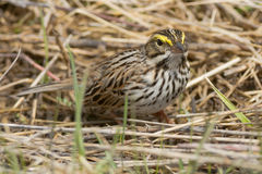 Savannah Sparrow Stock Photo