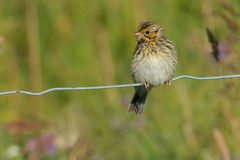 Savannah Sparrow. Juvenile Savannah Sparrow perched on a page wire fence Royalty Free Stock Photos